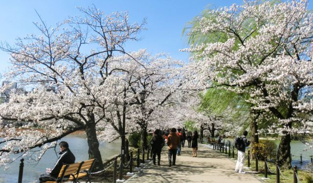 Ueno Cherry Blossom Festival - Why You Can't Miss the Pond!