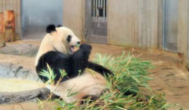 All About the Giant Panda Family in Ueno Zoo, Tokyo