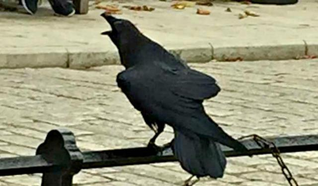 Ravens Protect the Tower of London