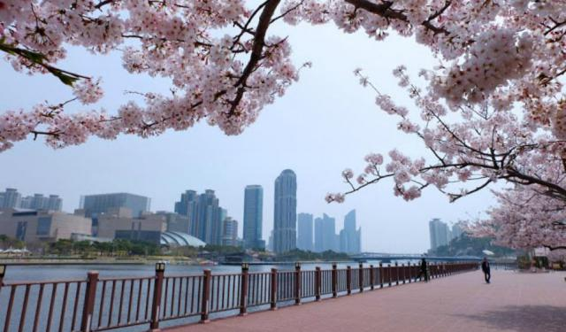 Cherry Blossom Binge Continues in Busan