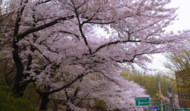 Incheon: Tail End of Cherry Blossom Season