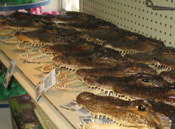 Alligator Taxidermy Products